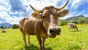 Nature Animal Cow